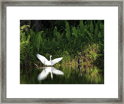 Little Blue Heron Non-impressed Framed Print