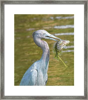 Little Blue Shows Me Its Catch Framed Print