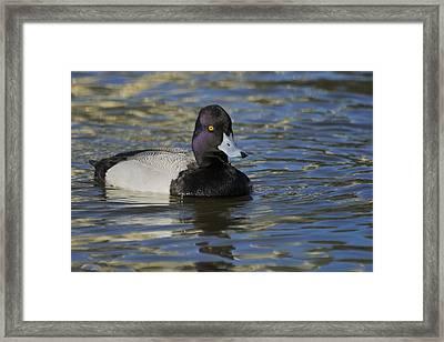 Framed Print featuring the photograph Little Bluebill - Lesser Scaup Drake by Bradford Martin