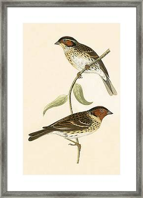 Little Bunting Framed Print by English School