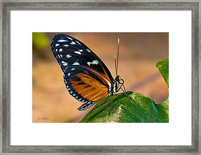 Little Butterfly Framed Print by Christopher Holmes