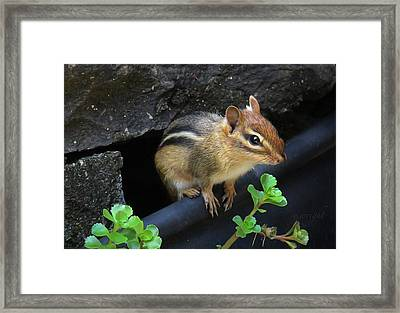 Little Chipmunk  Framed Print
