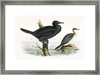 Little Cormorant Framed Print