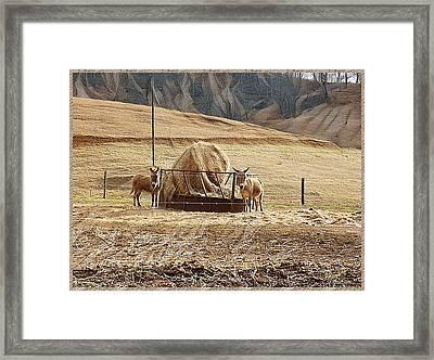 Little Donkeys Framed Print