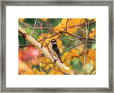 Little Downy In Autumn Framed Print by Donna Kennedy