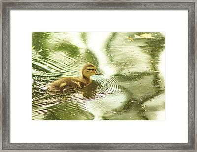 Little Ducky Framed Print