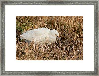 Little Egret Concentrating Framed Print