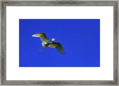 Little Egret, Egretta Garzetta Framed Print