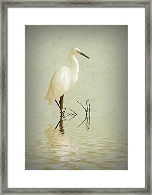 Little Egret Framed Print by Sharon Lisa Clarke