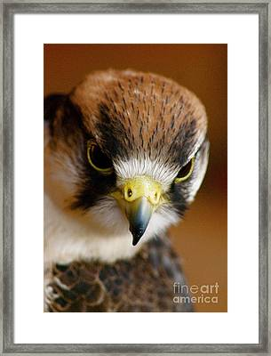 Little Falcon Framed Print by Louise Fahy