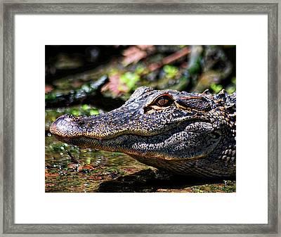 Little Gator Smile 1 Framed Print