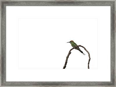 Little Green Bee Eater  Merops Orientalis  Framed Print by Venura Herath