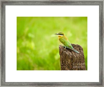 Little Green Bee-eater Framed Print