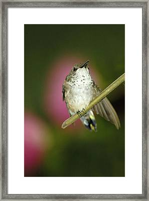 Little Humming Bird Framed Print
