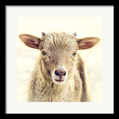 Lambs Framed Prints