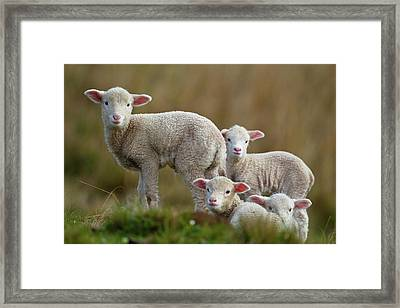 Little Lambs Framed Print by Ronai Rocha