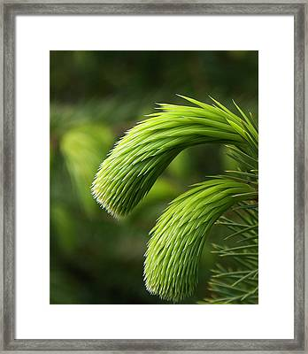 Little Lances Framed Print by Mark Denham