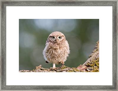 Little Owl Chick Framed Print by Roeselien Raimond