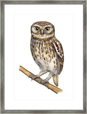 Little Owl Or Minerva's Owl Athene Noctua - Goddess Of Wisdom- Chouette Cheveche- Nationalpark Eifel Framed Print