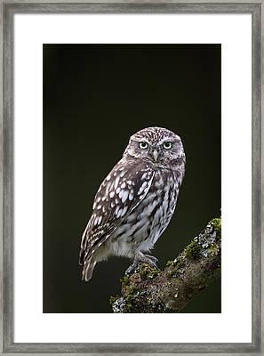 Little Owl Framed Print