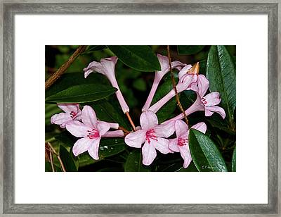 Little Pinks Framed Print by Christopher Holmes