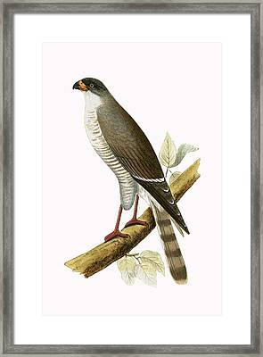 Little Red Billed Hawk Framed Print by English School
