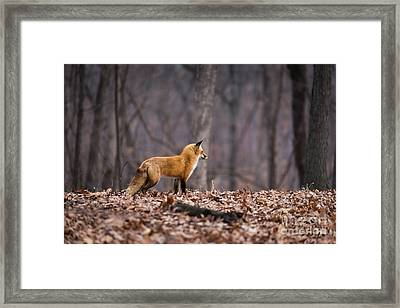 Little Red Fox Framed Print by Andrea Silies