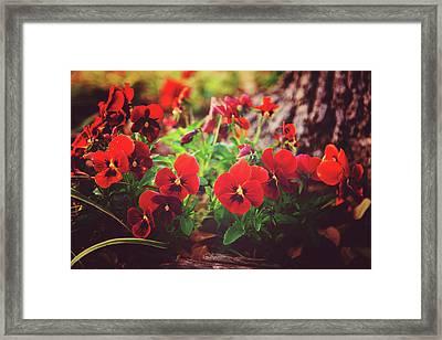 Little Red Pansies Framed Print by Toni Hopper