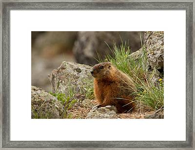 Little Rockchuck Framed Print