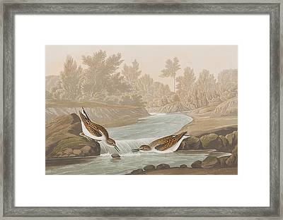 Little Sandpiper Framed Print