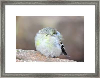 Little Sleeping Goldfinch Framed Print