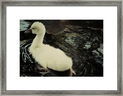 Little Swan Framed Print by The Art Of Marilyn Ridoutt-Greene