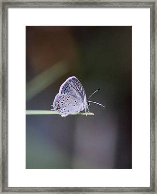 Little Teeny - Butterfly Framed Print