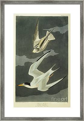 Little Tern Framed Print by John James Audubon