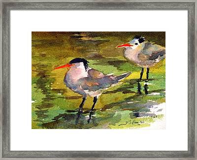Little Terns Framed Print by Julianne Felton