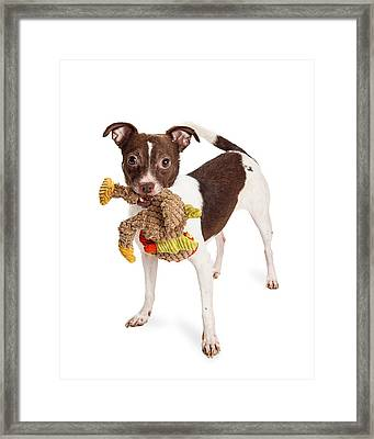 Little Terrier Crossbreed Dog With Plush Toy Framed Print