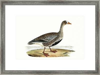 Little White Fronted Goose Framed Print by English School