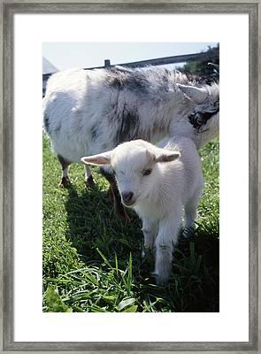 Little White Goat Framed Print