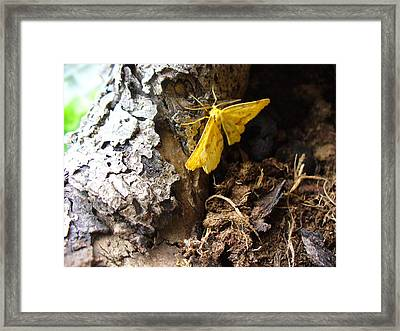 Little Yellow Moth Framed Print by Peggy King