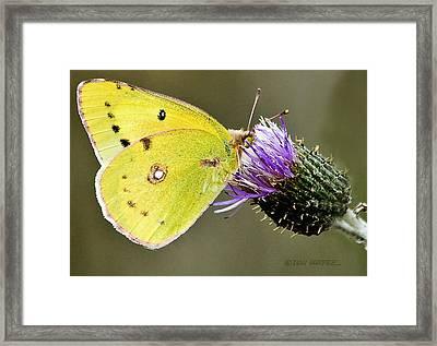 Little Yellow On Bullthistle Framed Print by Don Durfee