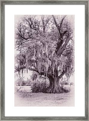 Live Oak And Spanish Moss - Oil Framed Print by Steve Harrington
