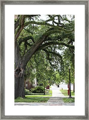 Live Oak On Campus Framed Print