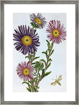 Livingstone Daisy Dorothanthus Framed Print by Pierre-Joseph Buchoz