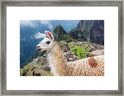 Llama At Machu Picchu Framed Print by Jess Kraft