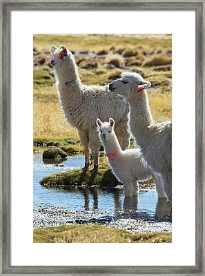Llama Framed Print by Christian Heeb