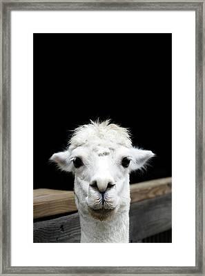 Llama Framed Print by Lauren Mancke