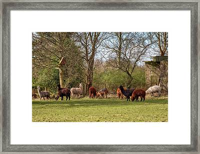 Framed Print featuring the photograph Alpacas In Scotland by Jeremy Lavender Photography