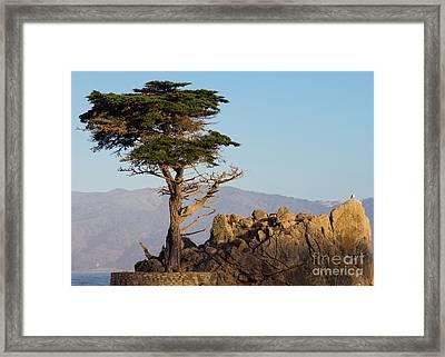 Lone Cypress Tree  Framed Print