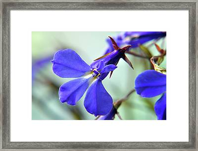 Framed Print featuring the photograph Lobelia Erinus by Terence Davis