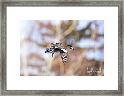 Locked Widgeon Framed Print